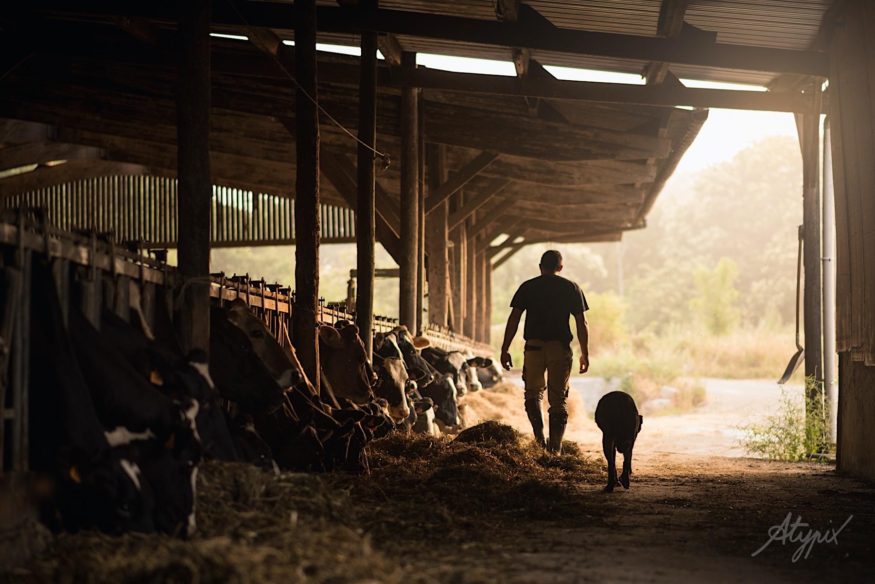 éleveur bovin avant la traite