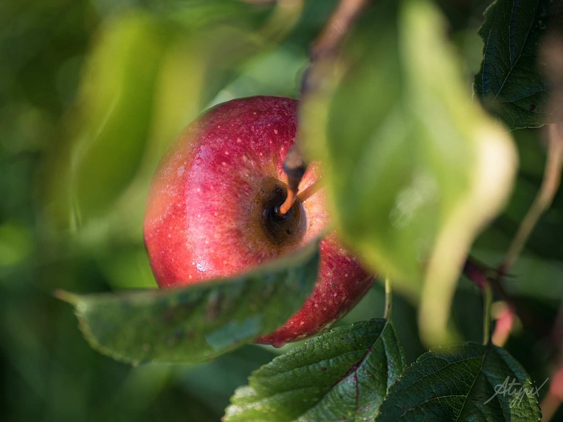 photo-reportage agriculture biologiques pommes