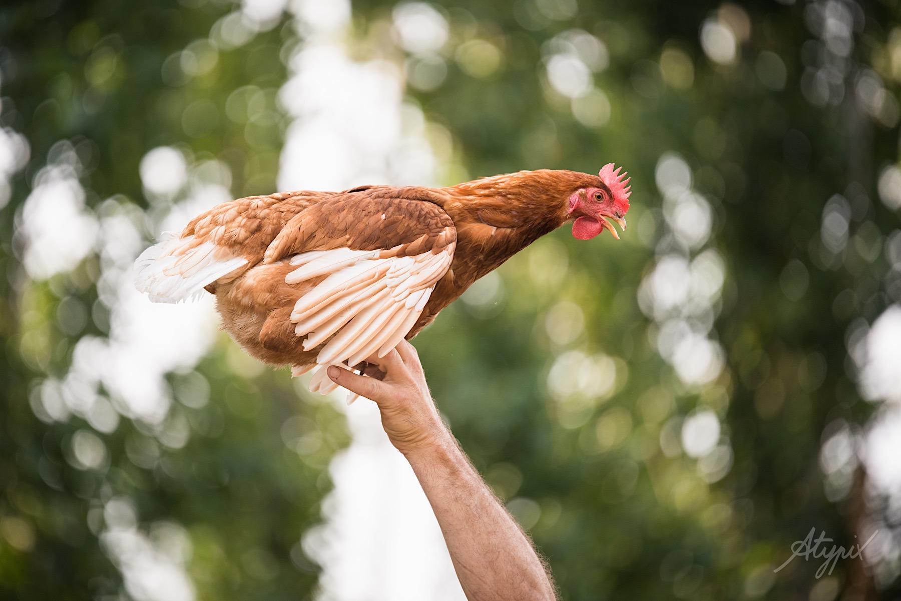 photo de poule élevage bio nantes