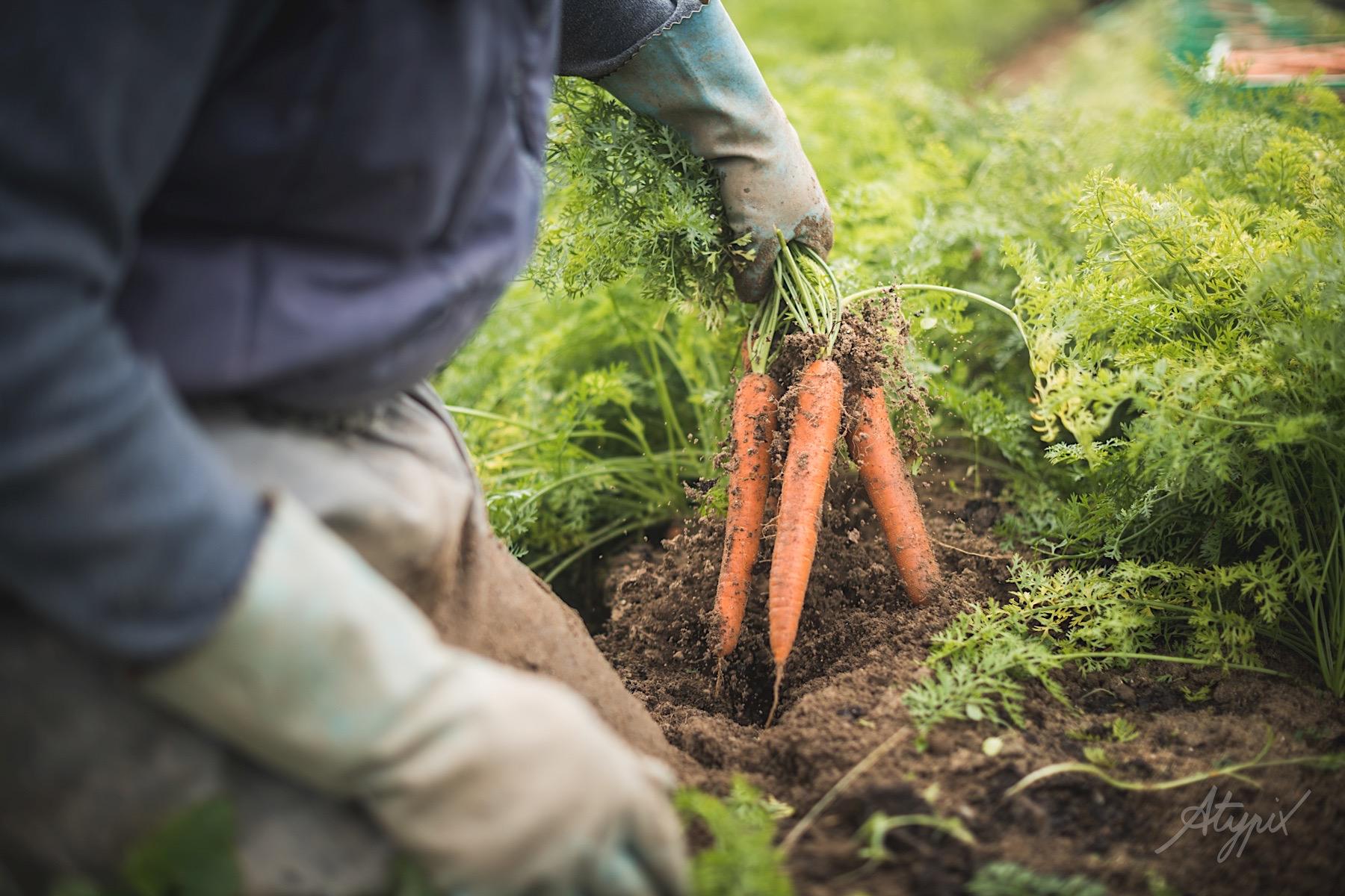 reportage métier culture carotte en sable