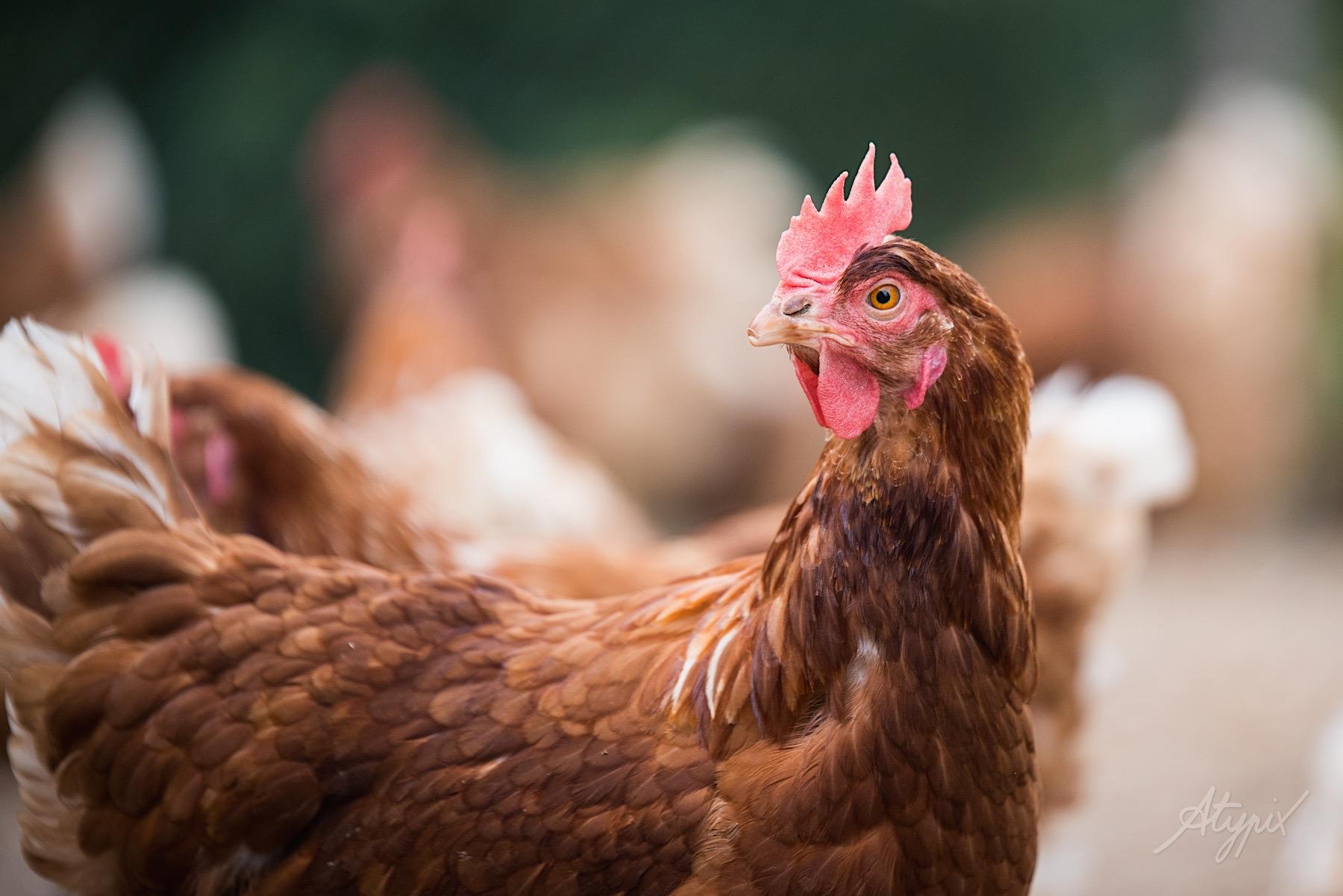 photographie commerciale poule élevage biologique
