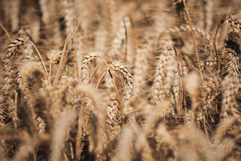 épis de blé avant la moisson