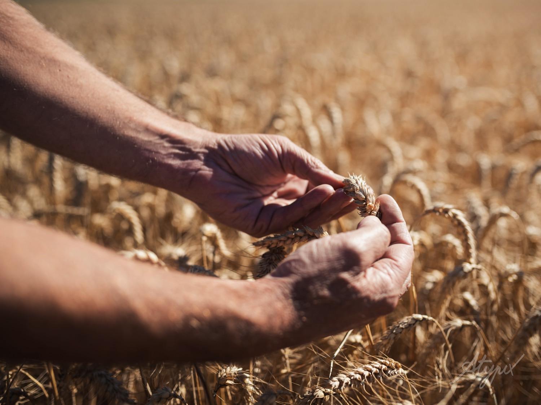 épi de blé dans le champ